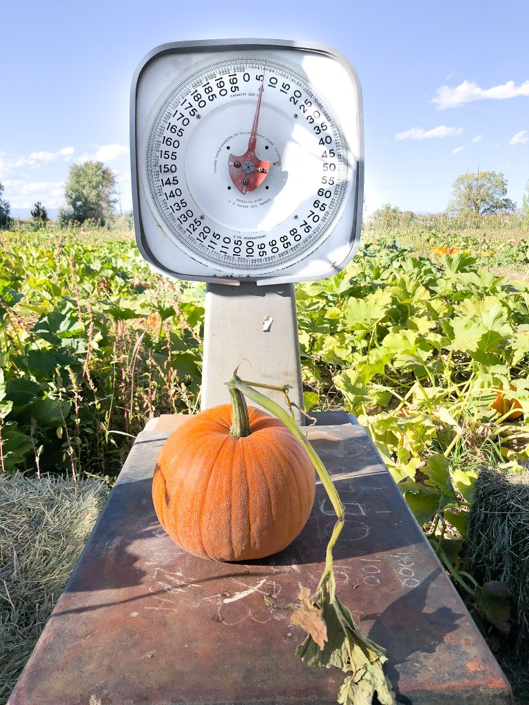 Weighing the a pie pumpkin to take home and cook