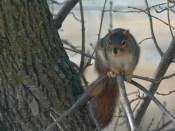 squirrel LA witt