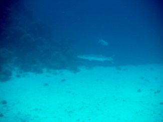 Barracuda (There are 2 - just one in these pictures because my camera has only so much quality to zoom!!)