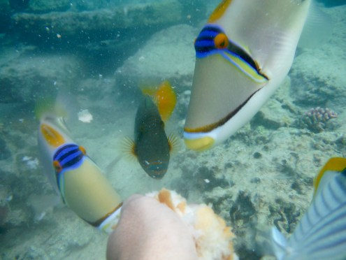 The Picasso and the Orangestriped Trigger Fish very interested.