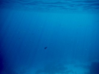 Milk Fish - They're the larger fish in this picture - off in the distance, close to the water's surface.