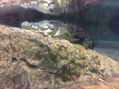 The King Crocodile