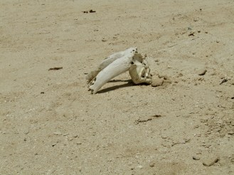 I find a part of an antelope skull