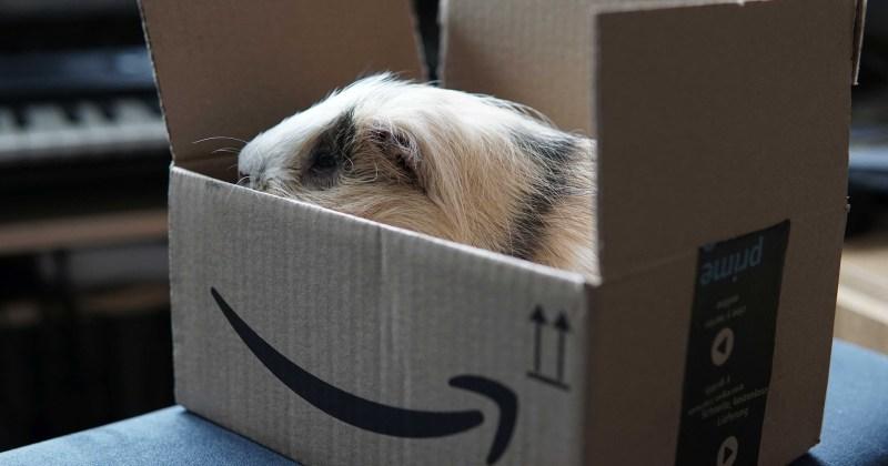 guinea pig in amazon box