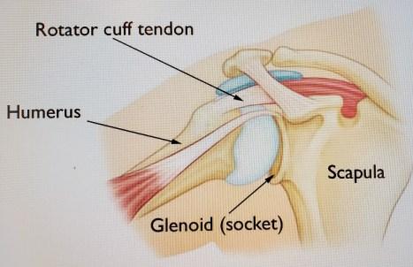 shoulder (2)