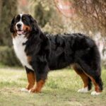 Seven Dog Breeds With Short Lifespans