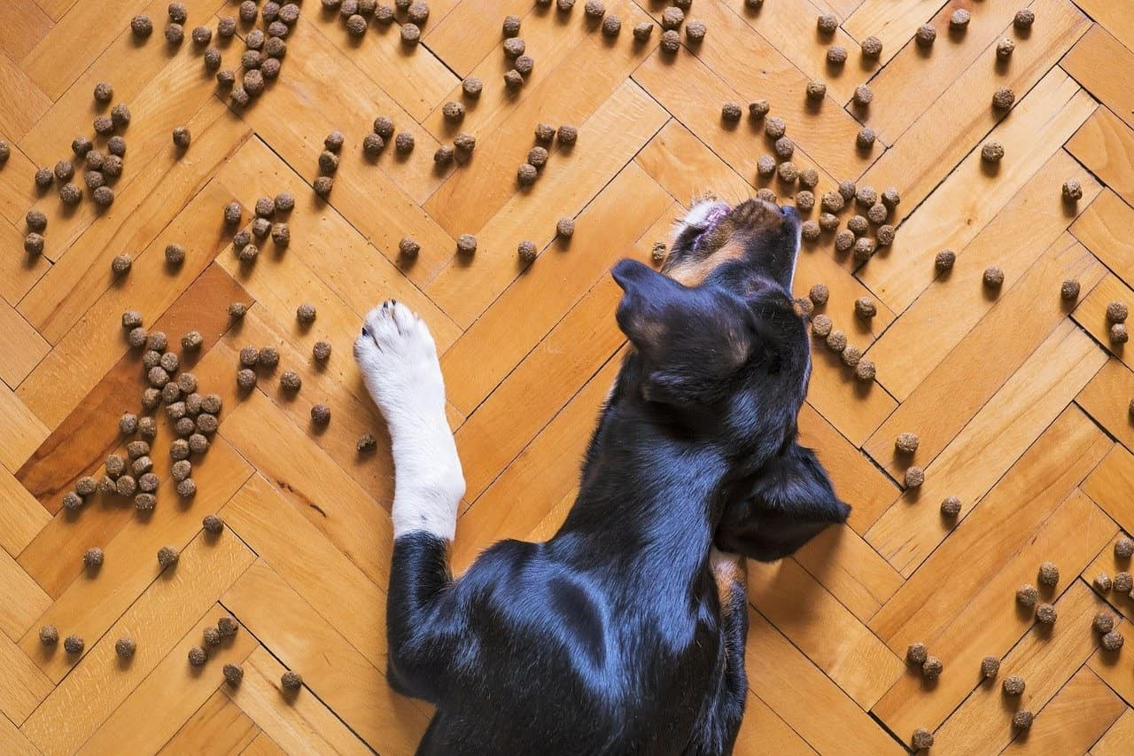 Dog eating kibble spread on floor