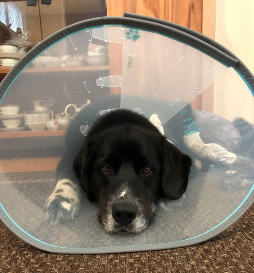 Dog recovering after ACL surgery