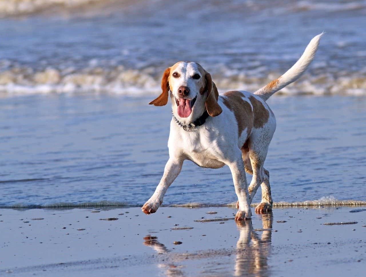 healthy happy dog running on beach