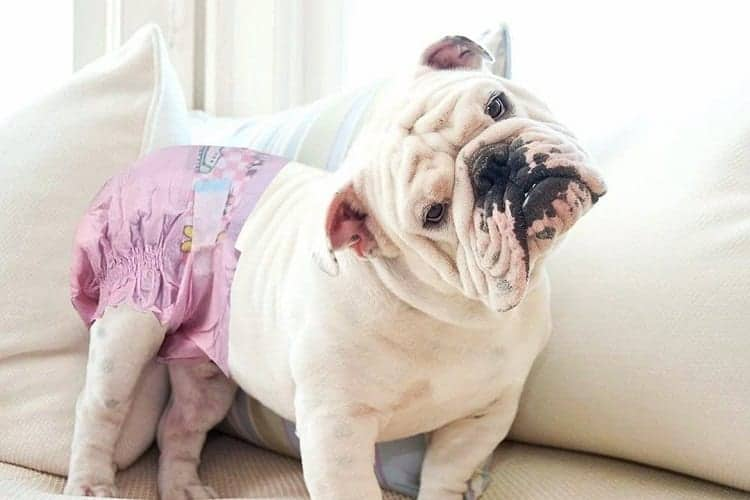 Should You Choose Diapers According To Dog Breed?