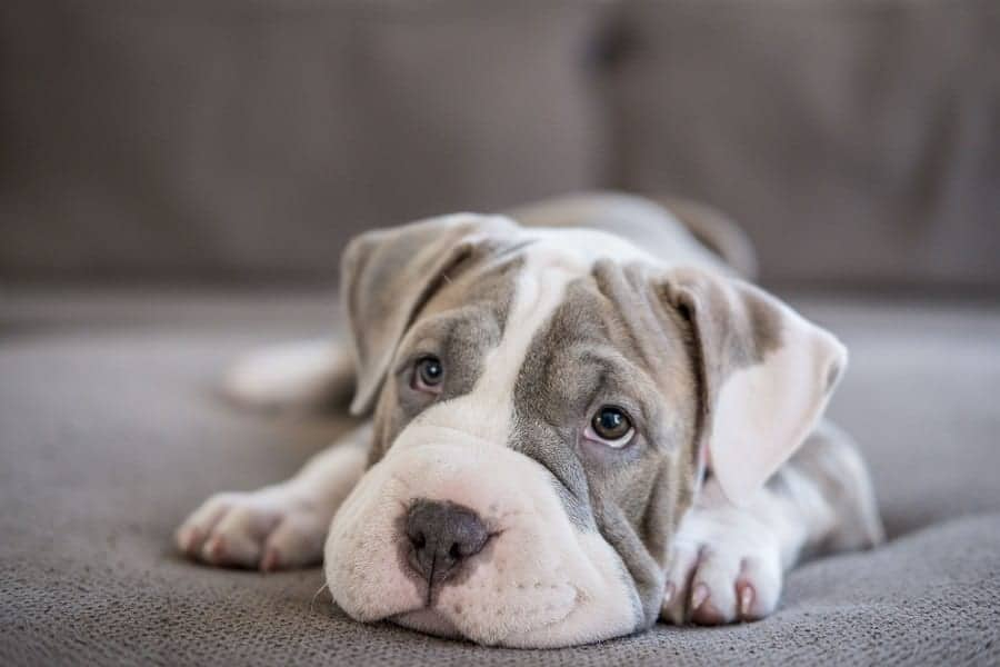 Deworming Puppies - How-To Guide