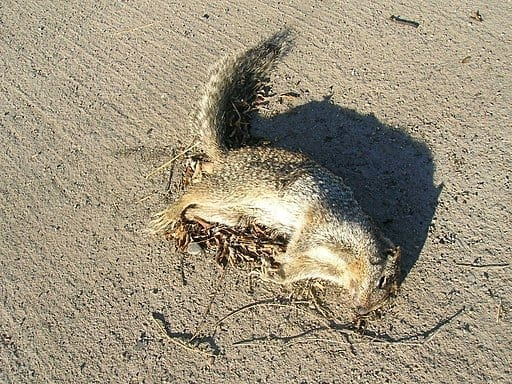 Dead squirrel on the ground