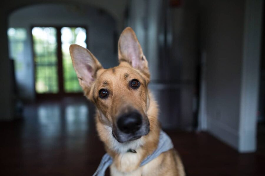 Dog with perked up ears