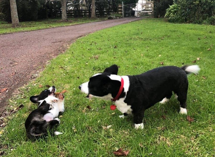 Corgi barking at corgi puppy outside