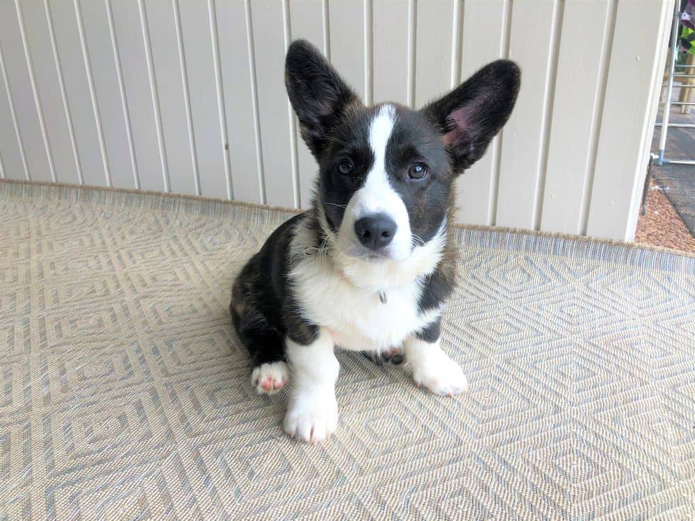 Corgi puppy sitting pretty