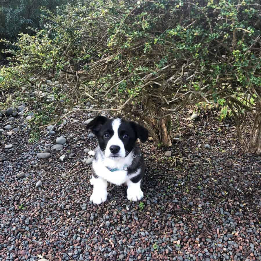 Ollie the corgi puppy sitting underneath a hedge