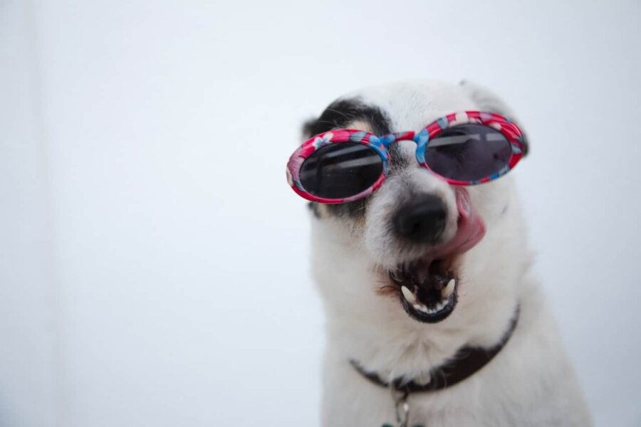 stylish dog with floral sunglasses licking its chops