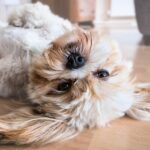 Relaxed dog lying on its back on a wooden floor