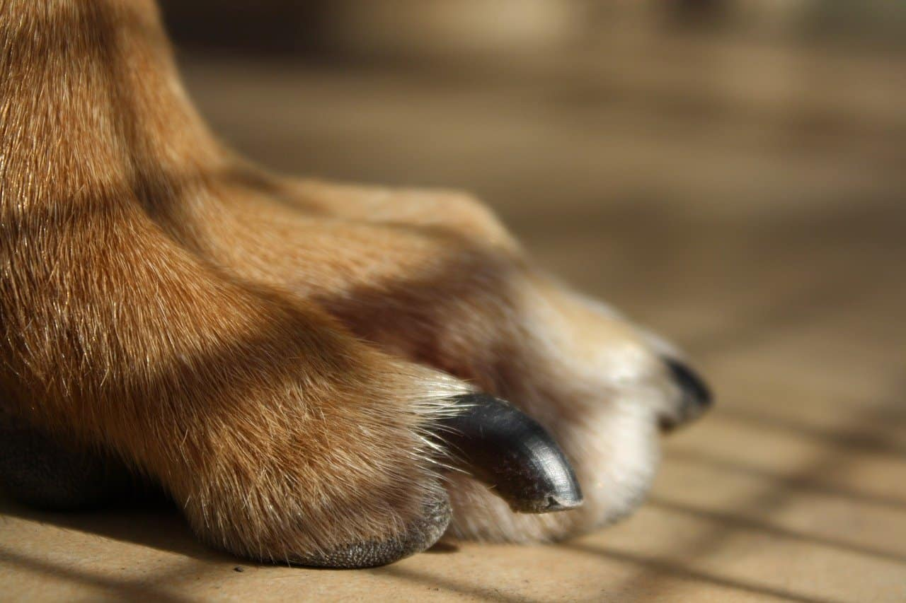Close up of a dogs long, black nails