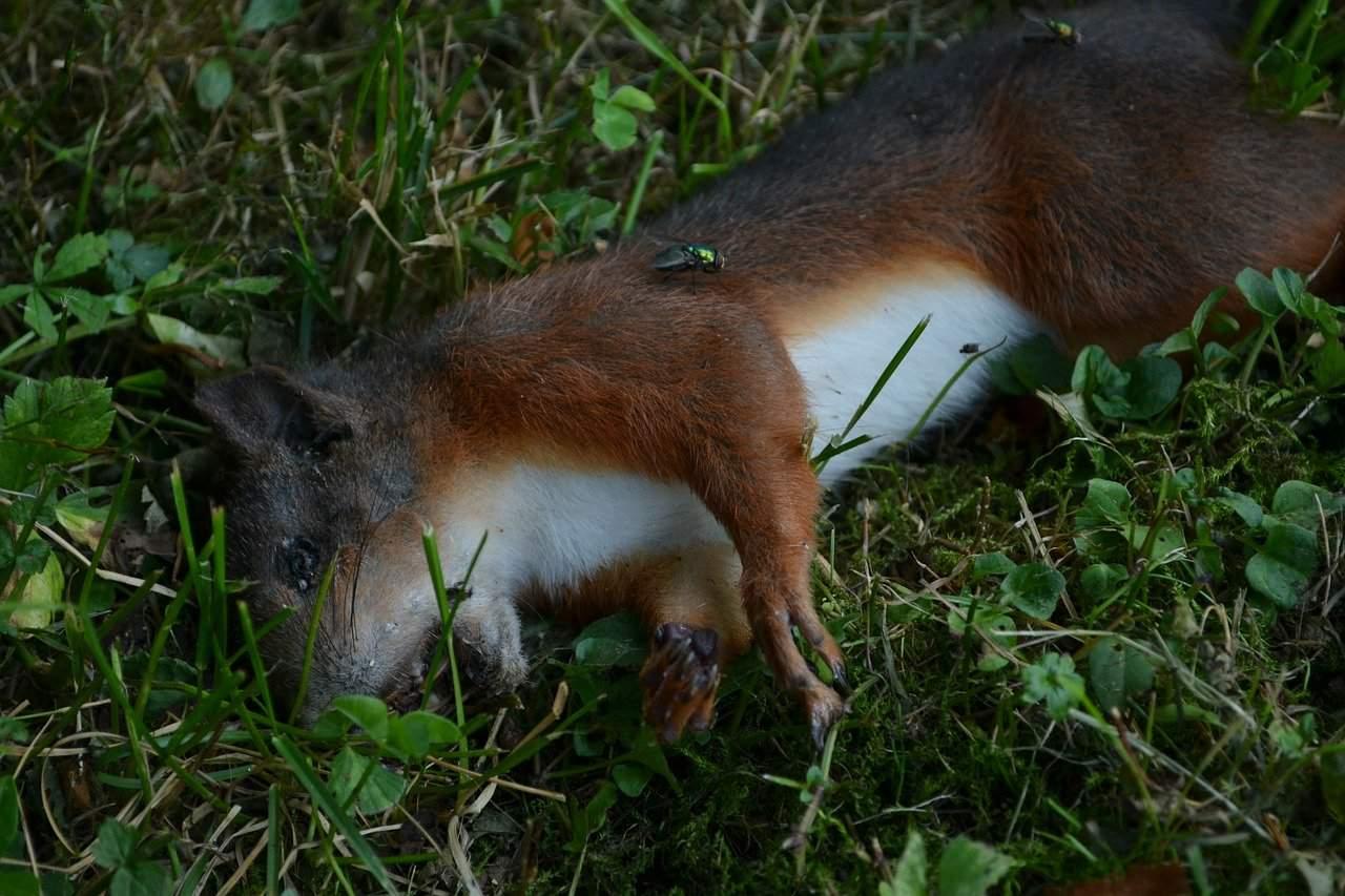 Dead squirrel in the grass