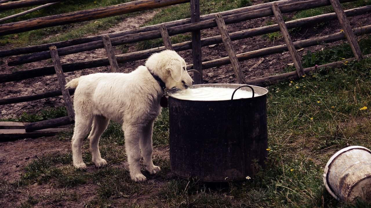 Dog drinking milk out of huge bucket