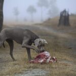 Can dogs eat rotten meat?
