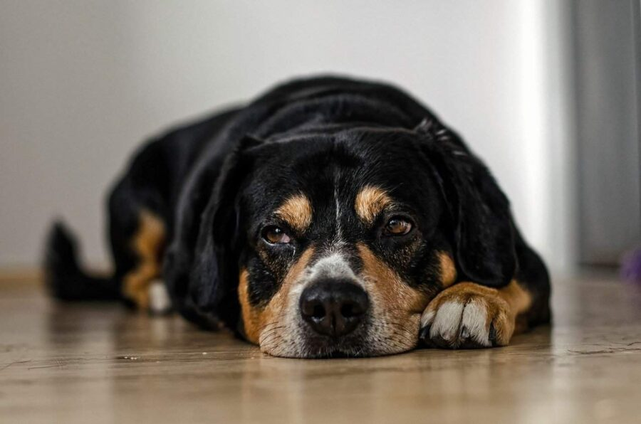 Dog drooling on hardwood floor
