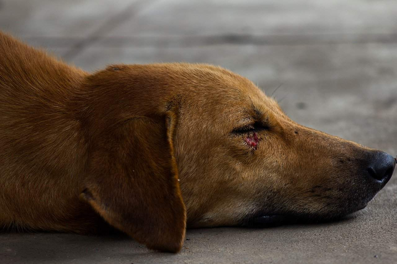 Dog with red cut under its eye