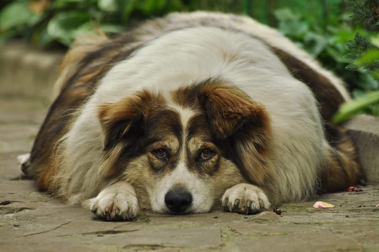 Fat dog lying on ground