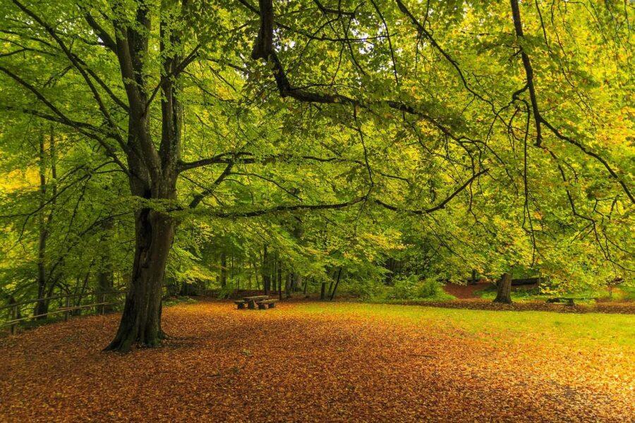 Oak tree clearing