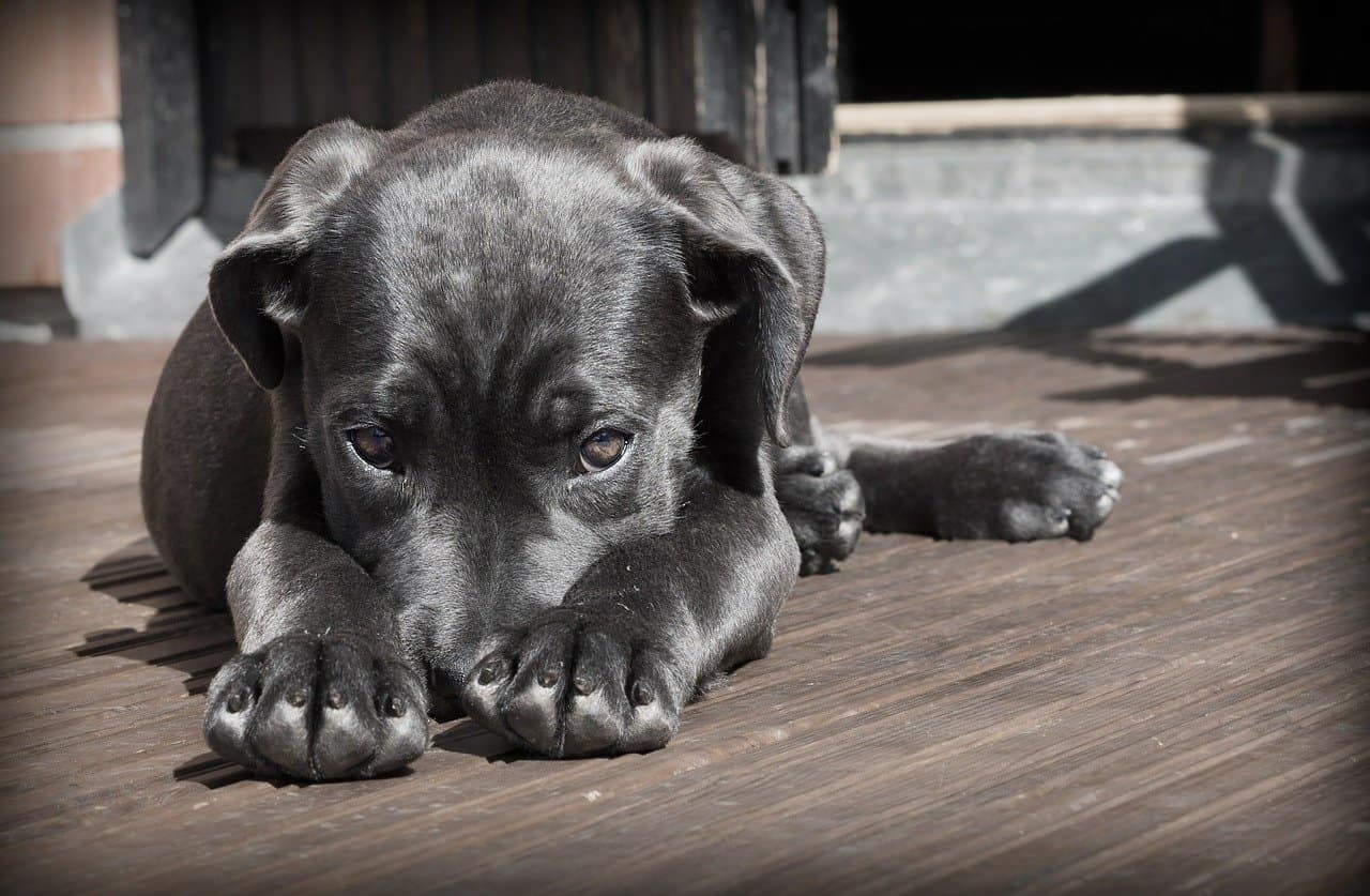 Black puppy hiding its face in its paws