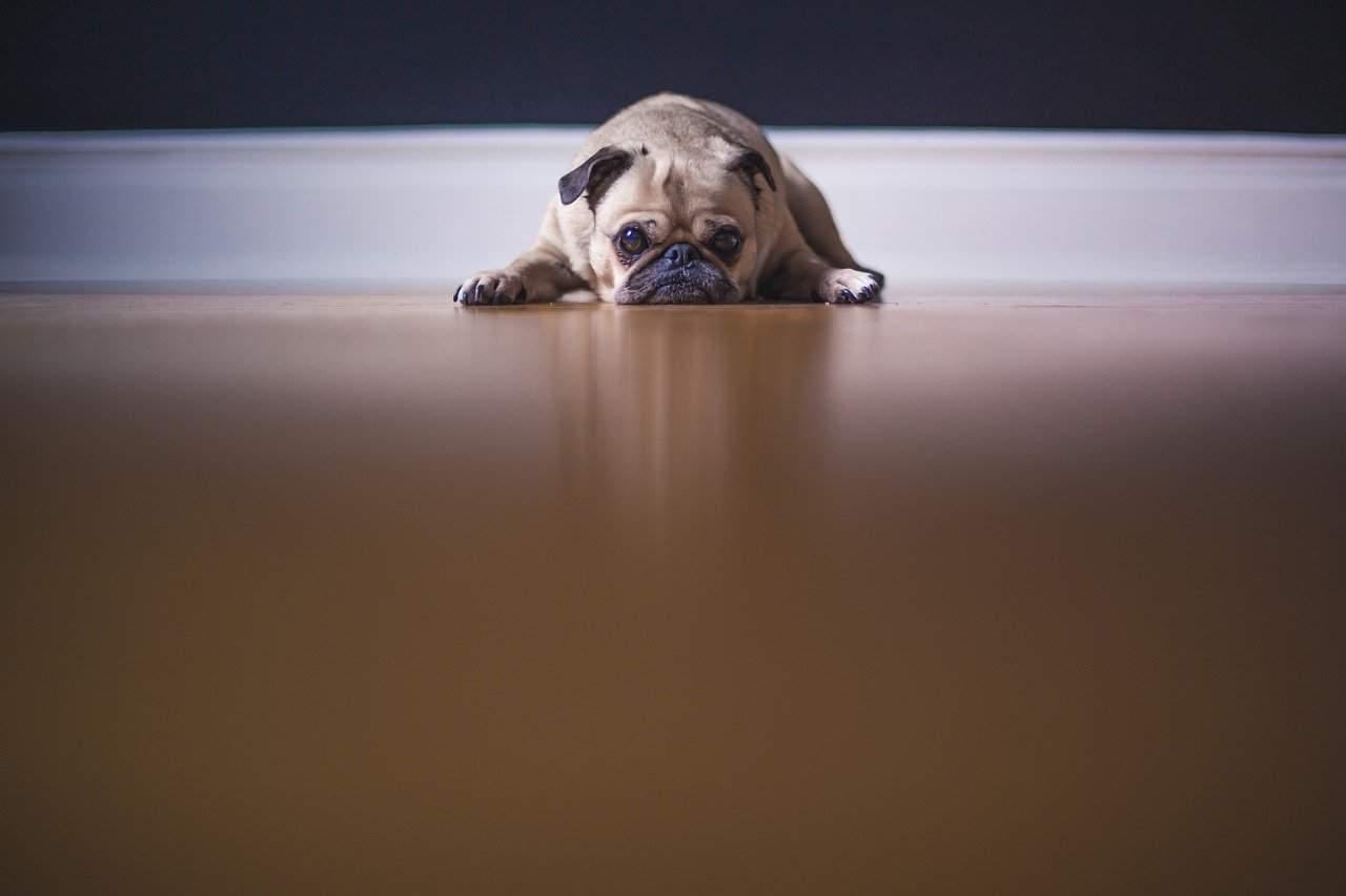 grumpy looking pup lying on the floor