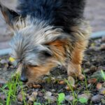 How to stop a dog from eating acorns