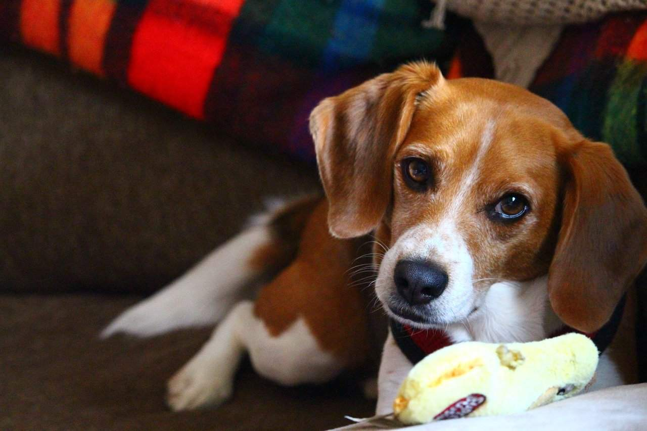 Beagle with chick chew toy