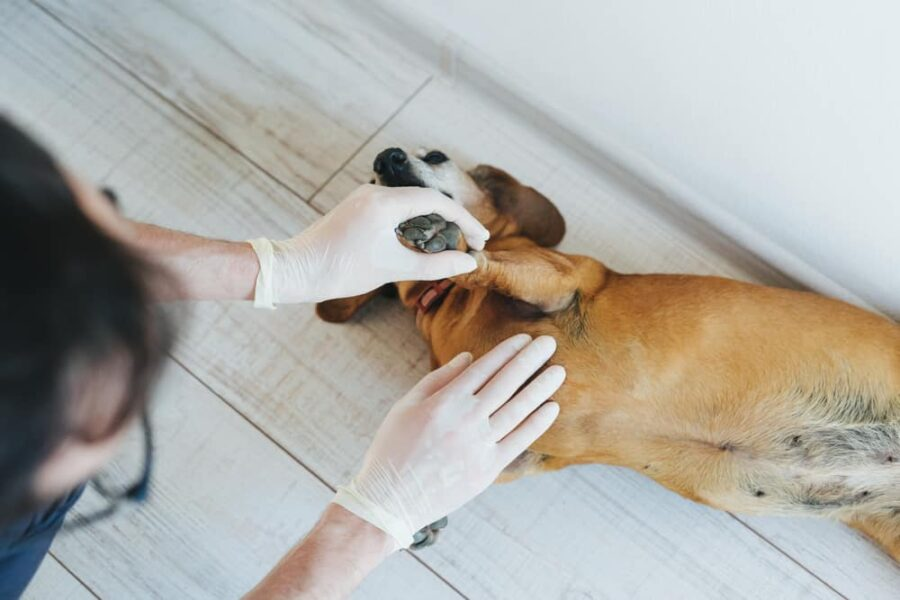 Checking a dog's belly and nipples
