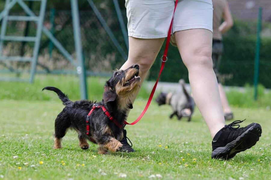 Dachshund dog training
