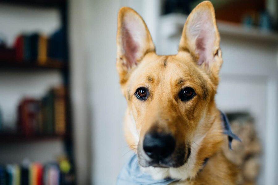 Dog big ears listening
