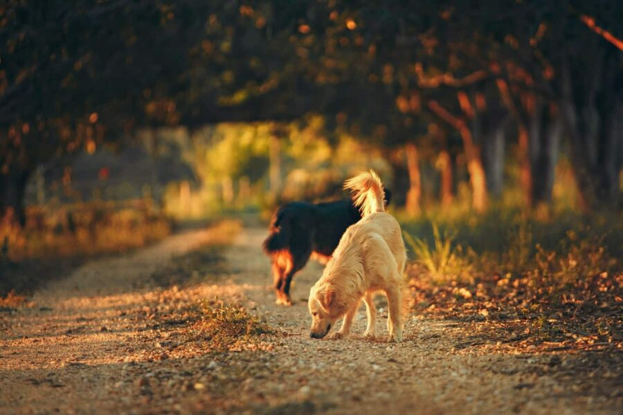 Dogs sniffing the ground