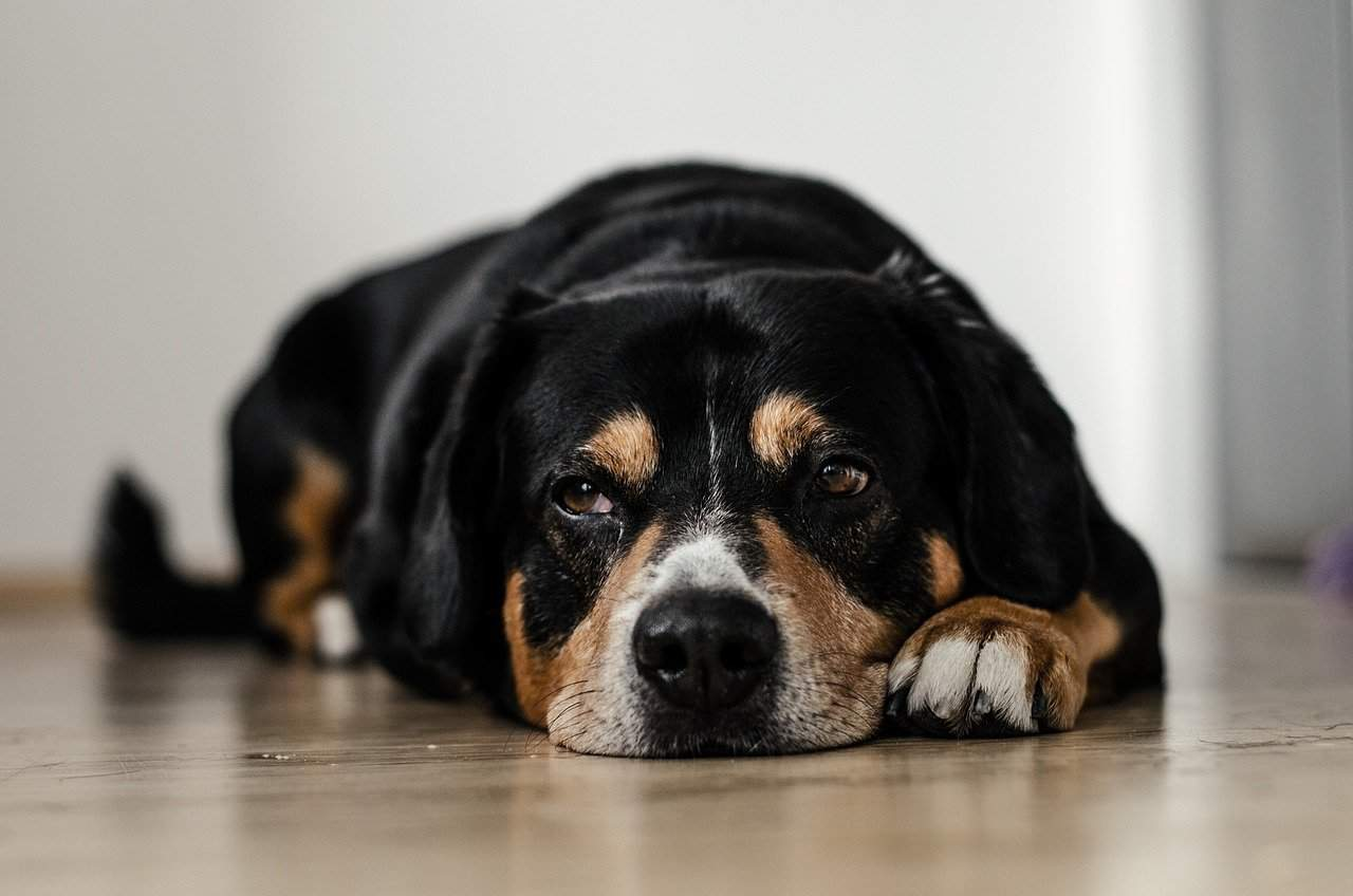 Sad dog lying on floor