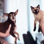 Siamese cat and chihuahua
