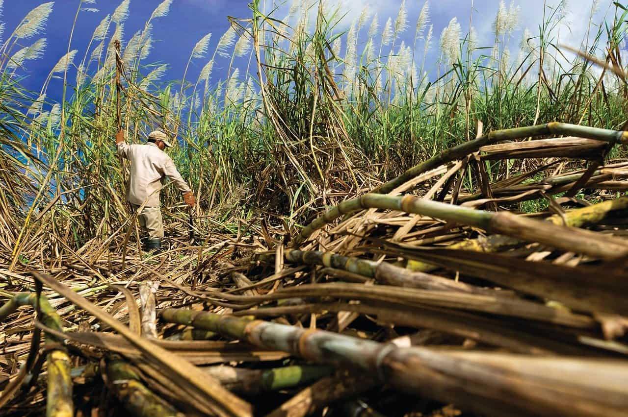 Sugar cane being farmed
