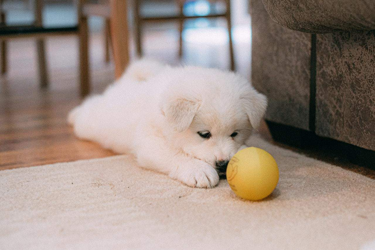 White puppy playing with yellow ball