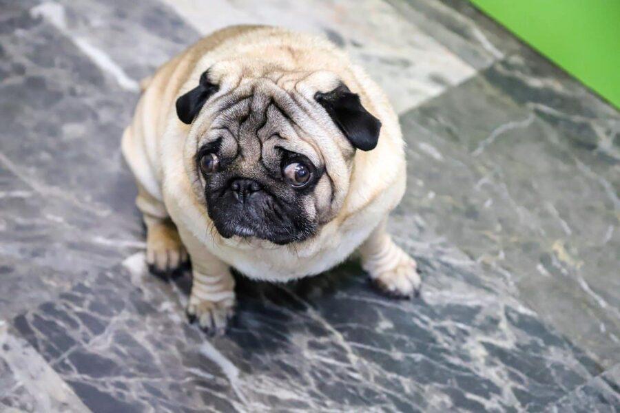 Worried-looking pug