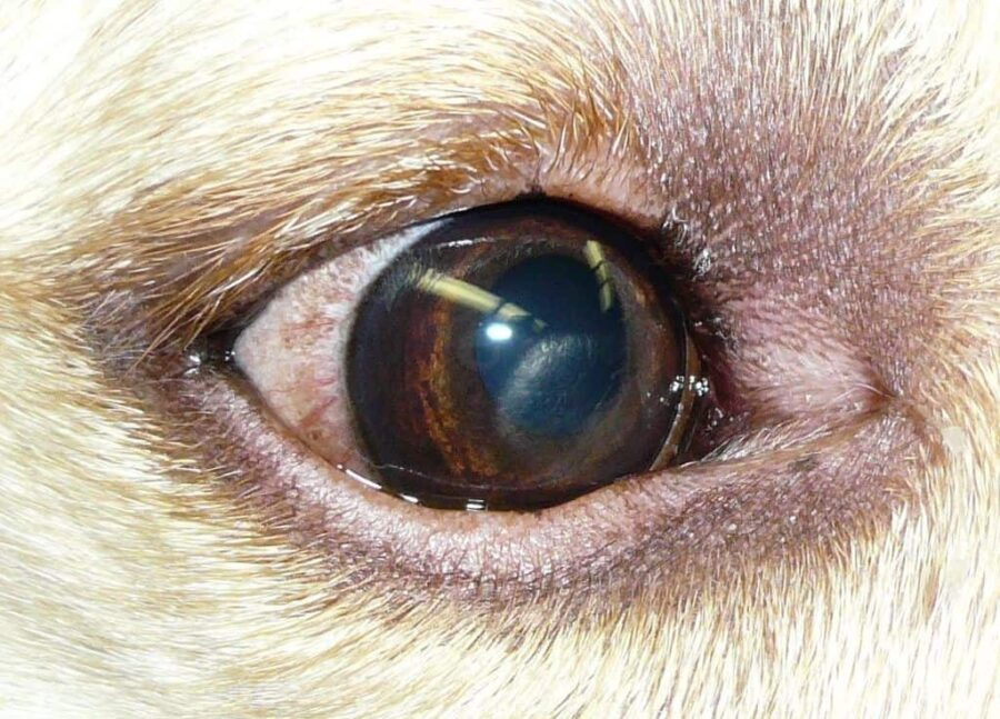 Canine corneal dystrophy