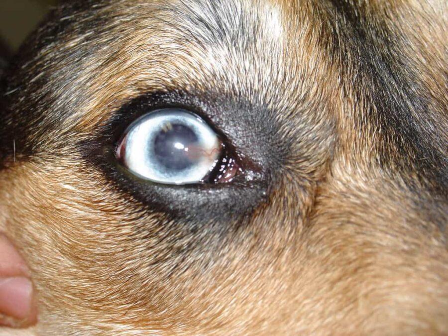 Canine surface superficial keratitis