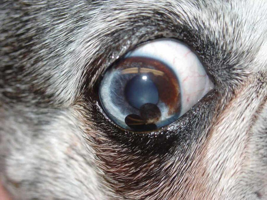 Dog iris melanoma