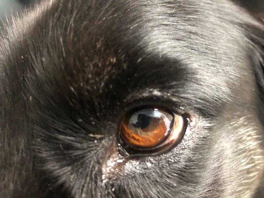 Brown spot on dog eye