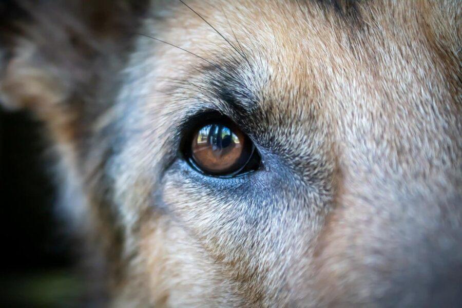 Healthy dog eye close up