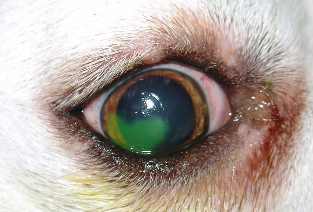 Infection and ulcer on dog's eye. Joel Mills, CC BY-SA 3.0 <http://creativecommons.org/licenses/by-sa/3.0 srcset=
