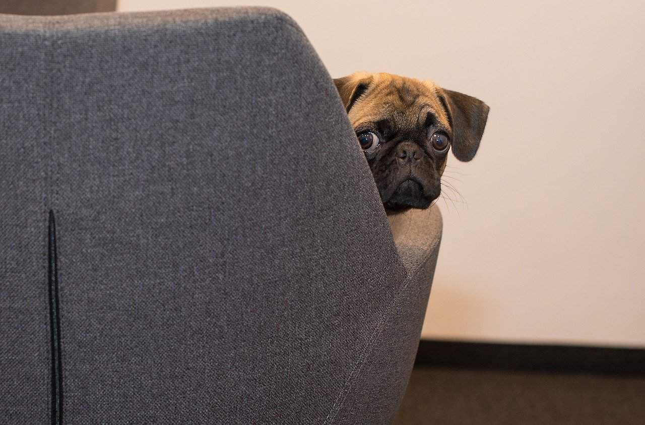 Pug looking fearfully from behind couch